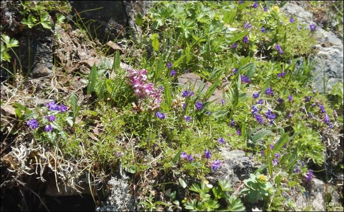 高山植物の写真1