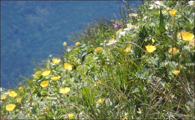 高山植物の写真4