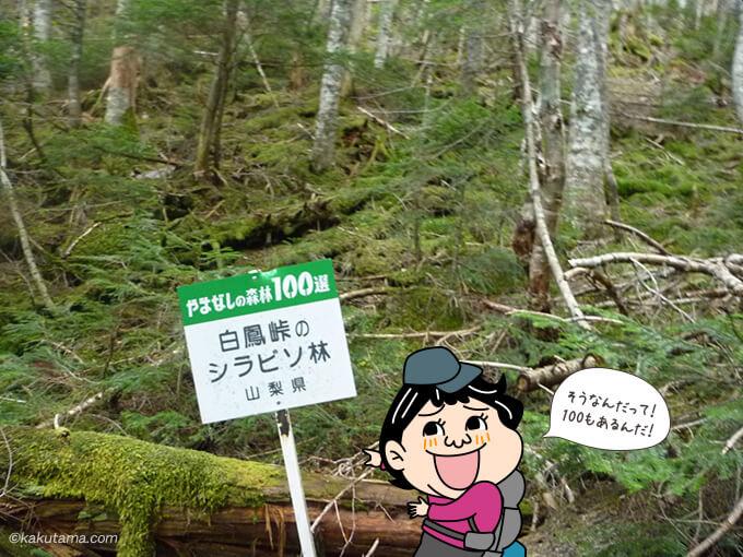 白鳳峠のシラビソ林