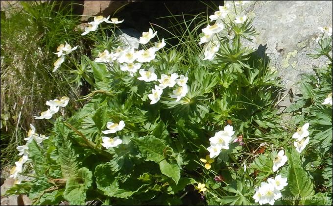 高山植物の写真3