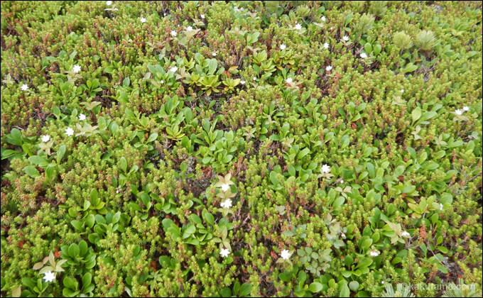 高山植物の写真2