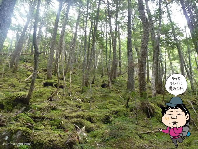 シラビソ林がキレイ