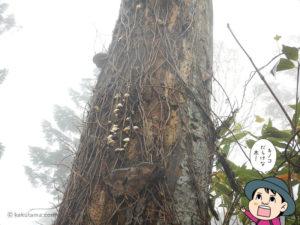 キノコ大量発生の木