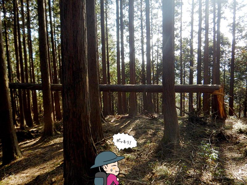 栗の木洞山頂近くの倒れた木