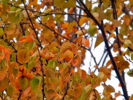 紅葉した桂の葉