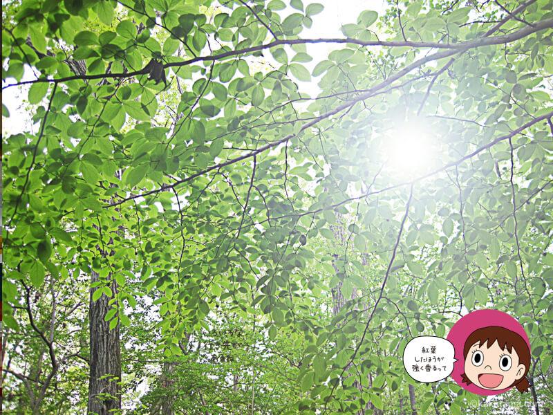 山に香る甘い匂いの正体は桂の木