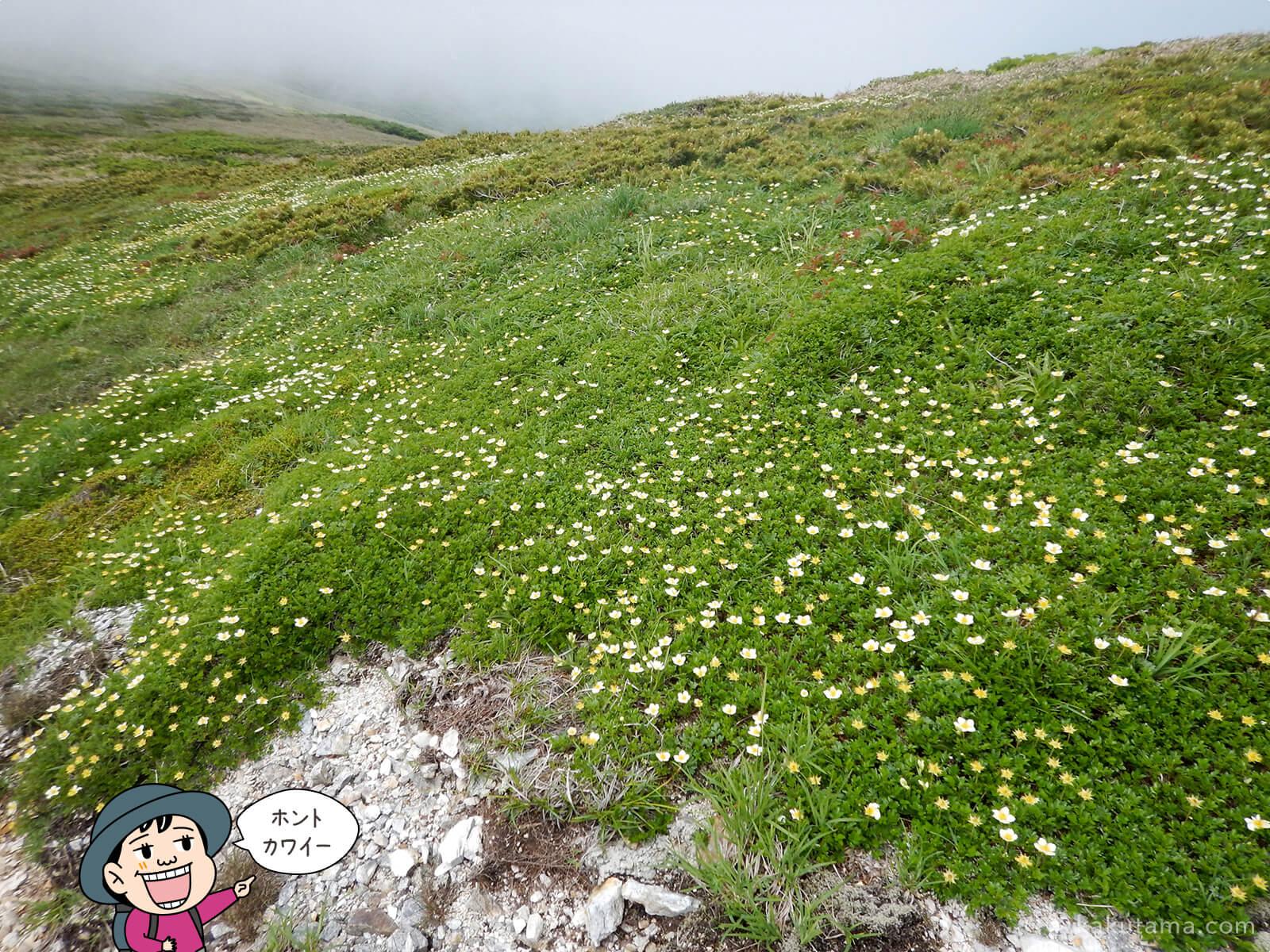 仙ノ倉山から平標山への道脇に咲く花