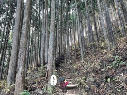 真っ直ぐに生える杉の木3