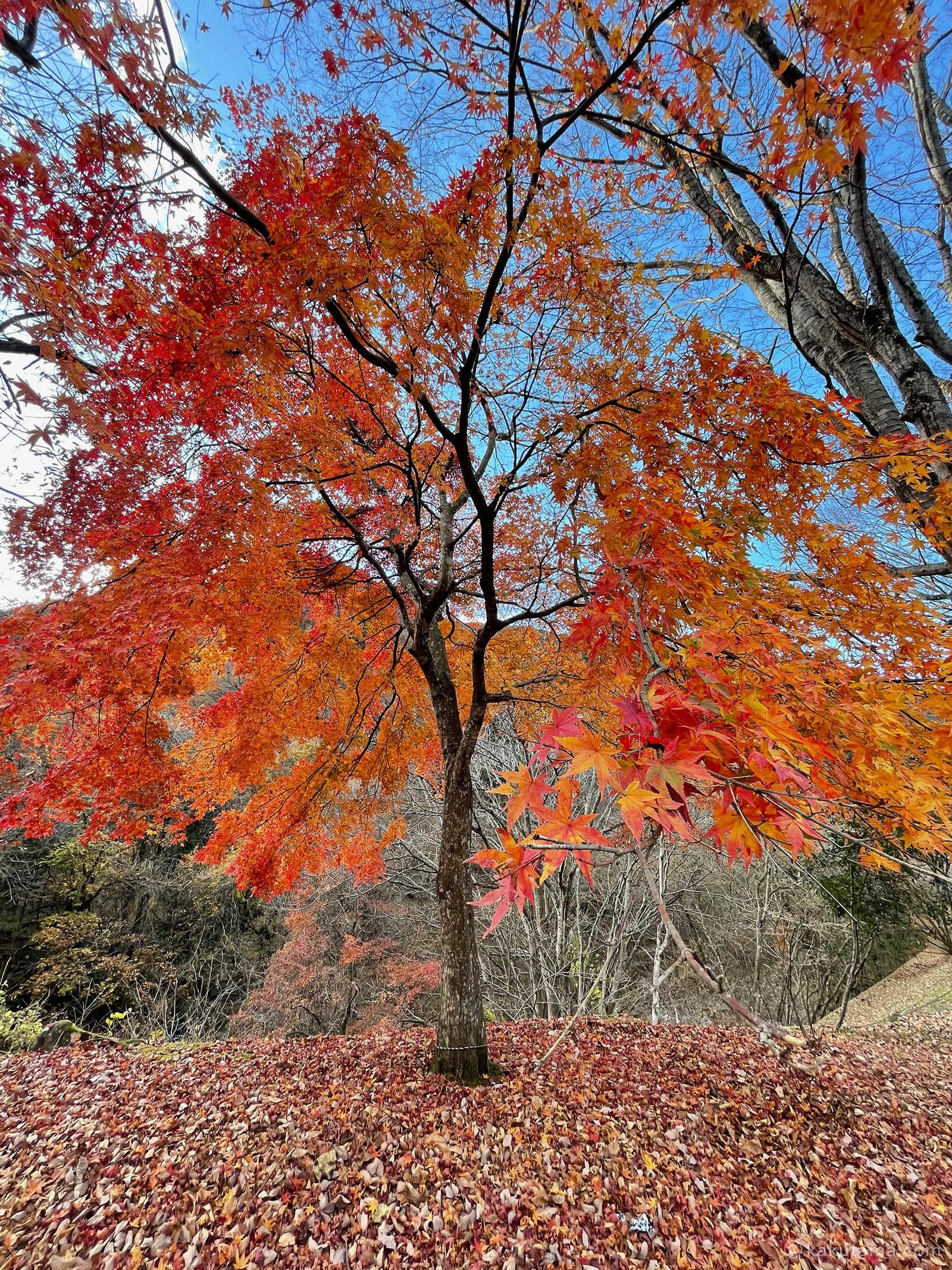 奥多摩の紅葉を見る