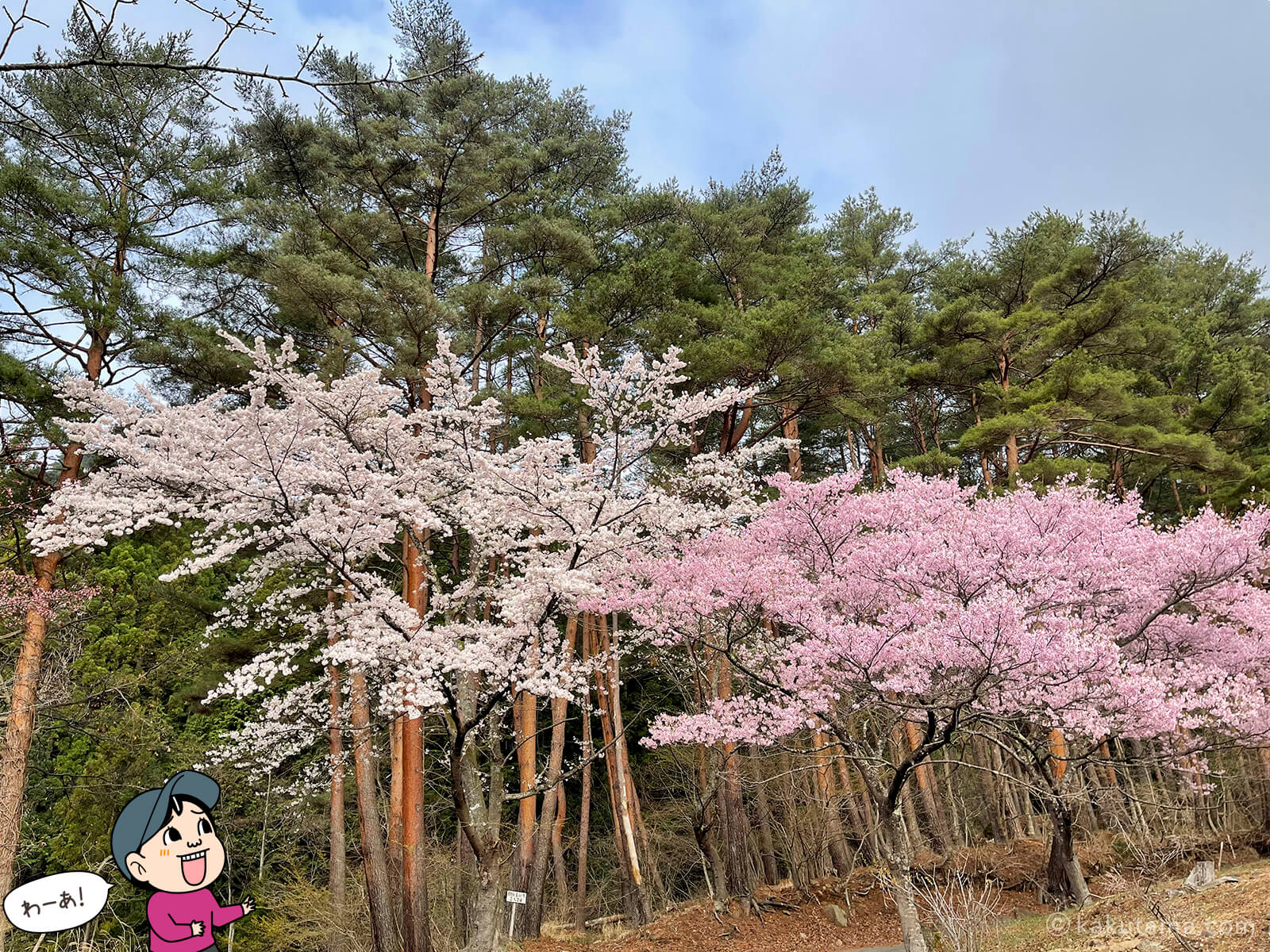 三ツ峠さくら公園の桜