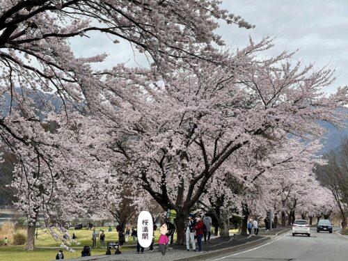 河口湖の桜がキレイ