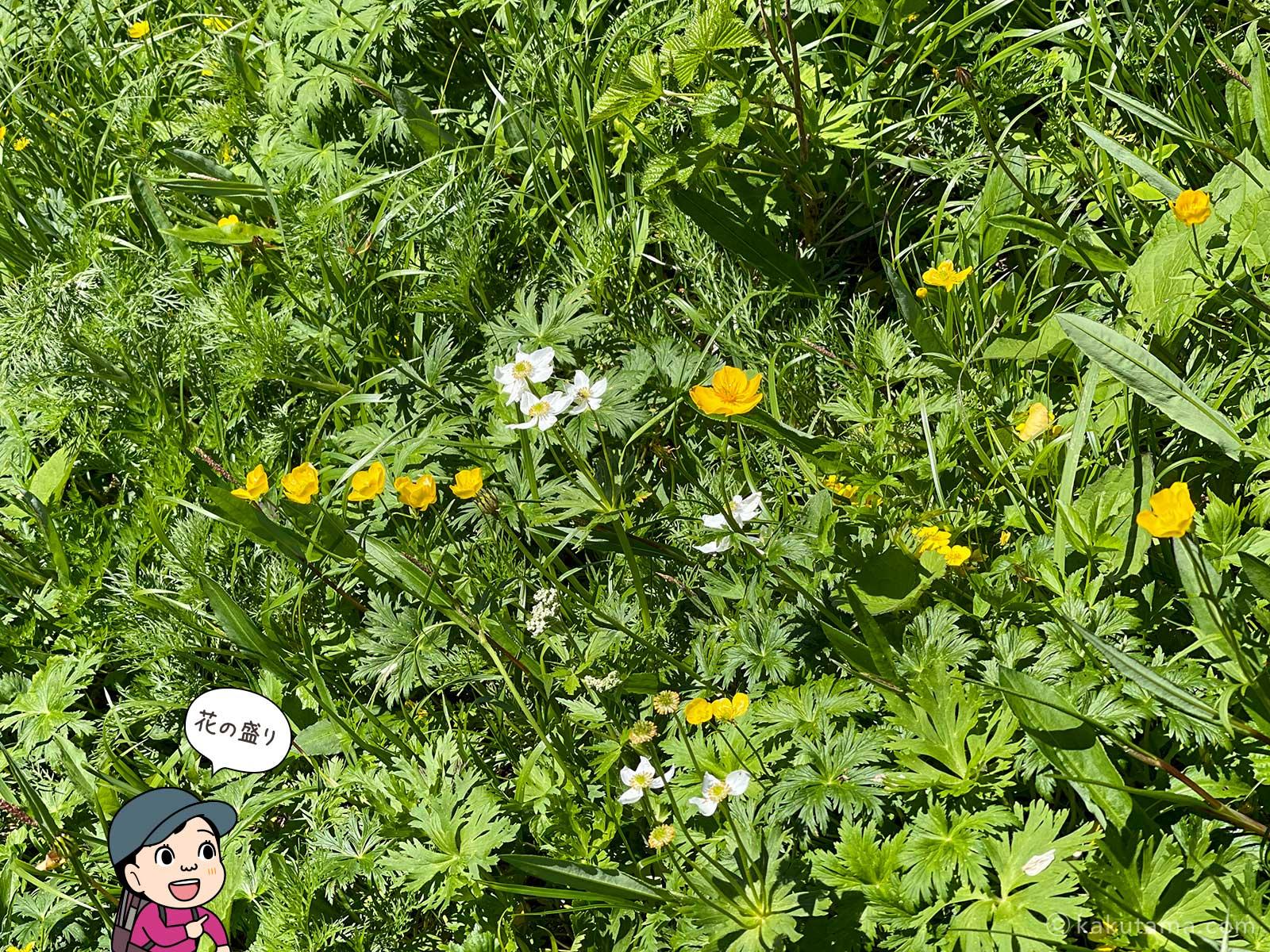 北アルプスに咲く高山植物
